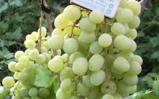 Виноград Восторг Идеальный: что нужно знать о нем, описание сорта, отзывы