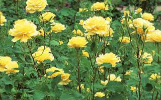 Выращивание цветов на срезку