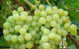 Виноград Мускат красный: описание сорта с фото, отзывы, посадка и уход