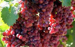 Виноград мускат розовый: описание сорта с фото, отзывы, посадка и уход