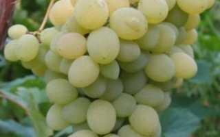 Виноград Элегант сверхранний: что нужно знать о нем, описание сорта, отзывы