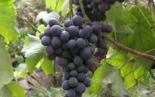 Сорт винограда Восторг черный : что нужно знать о нем, описание сорта, отзывы