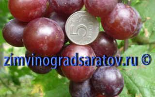 Виноград «Подарок Украине»: описание сорта с фото, отзывы, посадка и уход