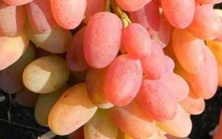 Виноград Сияна: что нужно знать о нем, описание сорта, отзывы