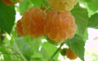 Сорт малины Беглянка: описание, фото
