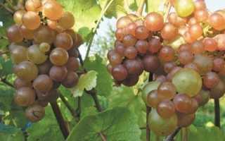 Виноград Платовский (описание, характеристика, фото)