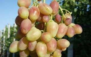 Виноград Дамасская роза: описание сорта с фото, отзывы, посадка и уход