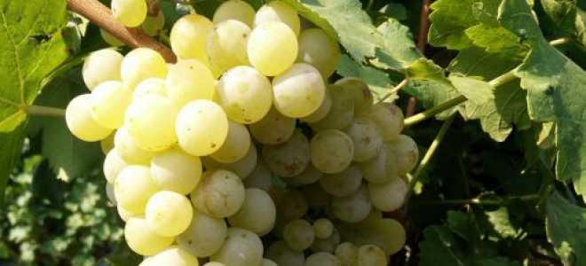 Виноград Жемчуг Саба: описание сорта с фото, отзывы, посадка и уход