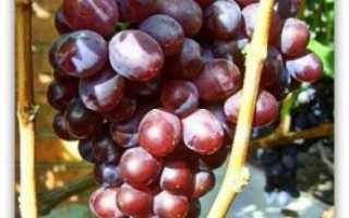 Виноград Сенатор. Описание, отзывы, фото