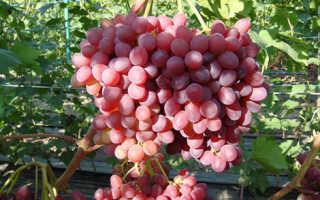 Виноград былина: что нужно знать о нем, описание сорта, отзывы