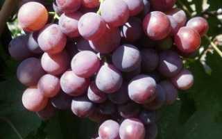 Виноград Герман: что нужно знать о нем, описание сорта, отзывы