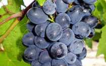 Виноград Дойна: что нужно знать о нем, описание сорта, отзывы