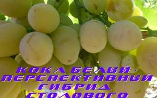 Виноград КоКл белый (FVK-4-2): что нужно знать о нем, описание сорта, отзывы