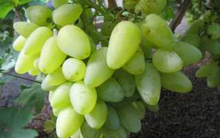 Виноград Бажена: описание сорта, посадка и уход