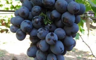 Виноград Хаджи Мурат. Описание сорта , отзывы, фото