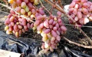 Виноград Сенсация – описание, отзывы, фото, видео