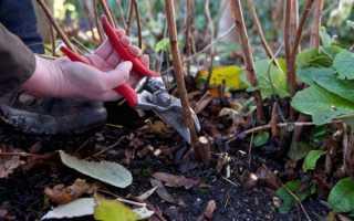 Как правильно делать обрезку малины осенью