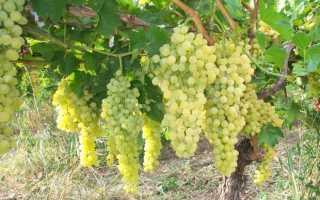 Виноград на Алтае сорта, выращивание, уход