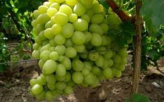 Виноград Ланселот: что нужно знать о нем, описание сорта, отзывы