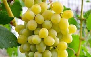 Виноград Адлер: что нужно знать о нем, описание сорта, отзывы