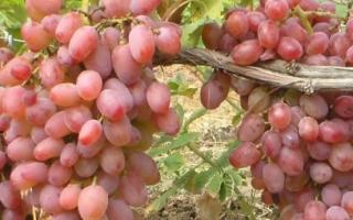 Виноград Гелиос (описание сорта, фото, видео)