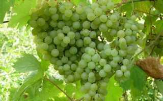 Виноград Таежный Изумруд: что нужно знать о нем, описание сорта, отзывы