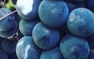 Сорт винограда Изабелла : что нужно знать о нем, описание сорта, отзывы