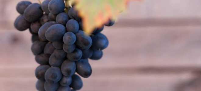 Виноград Блек Гранд: описание сорта с фото, отзывы, посадка и уход