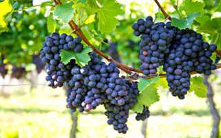 К чему снятся гроздья винограда? (толкование сновидений)