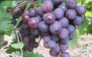 Виноград Май: что нужно знать о нем, описание сорта, отзывы