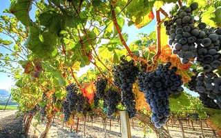 Виноград в Подмосковье: сорта, посадка, уход