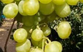 Виноград талисман – описание сорта: что нужно знать о нем, описание сорта, отзывы