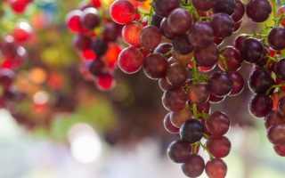Сорт винограда Чаррель  : что нужно знать о нем, описание сорта, отзывы