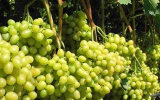 Виноград Аркадия: что нужно знать о нем, описание сорта, отзывы