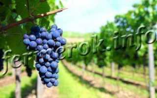 Виноград Амурский – описание, посадка и уход