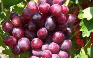 Сорт винограда Дунав: что нужно знать о нем, описание сорта, отзывы