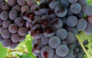 Виноград Кардинал  : что нужно знать о нем, описание сорта, отзывы