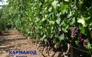 Виноград КарМаКод: что нужно знать о нем, описание сорта, отзывы