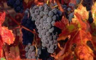 Виноград Медина: что нужно знать о нем, описание сорта, отзывы