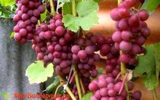Виноград Лепсна: что нужно знать о нем, описание сорта, отзывы
