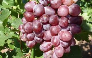 Сорт винограда Виктория: что нужно знать о нем, описание сорта, отзывы