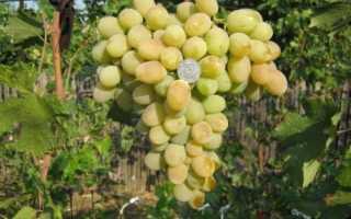 Виноград Алекса: описание, характеристика, фото, видео