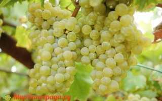 Виноград Сурученский белый: что нужно знать о нем, описание сорта, отзывы