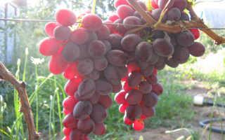 Виноград Рубиновый юбилей: что нужно знать о нем, описание сорта, отзывы