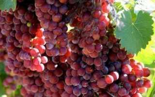 Виноград Мускат красный: что нужно знать о нем, описание сорта, отзывы