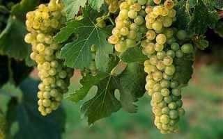 Виноград Сверхранний бессемянный: описание сорта с фото, отзывы, посадка и уход