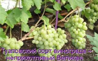 Виноград Тузловский великан: что нужно знать о нем, описание сорта, отзывы