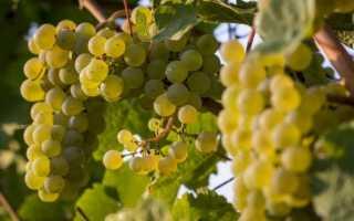Суричинский белый виноград: описание сорта с фото, отзывы, посадка и уход