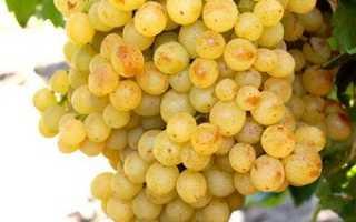 Виноград Сверхранний Бессемянный: что нужно знать о нем, описание сорта, отзывы