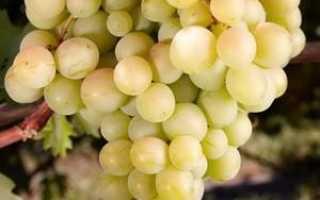 Виноград «Восторг мускатный»: описание сорта с фото, отзывы, посадка и уход